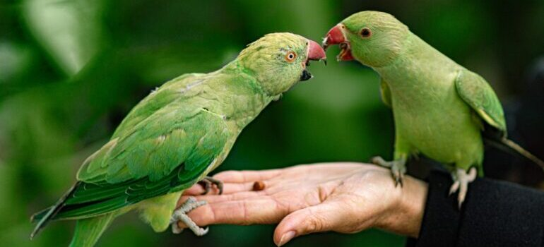 two green parrots on a hand